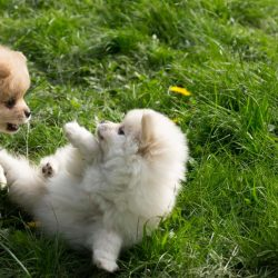 Pomeranian puppies3